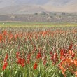 Stock Photo: Gladiolus field