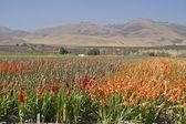Gladiolus field — Stock Photo