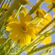 Yellow Daizy Flowers on blue sky background - Stock Photo