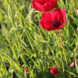 Stock Photo: Red poppies growing in spring field