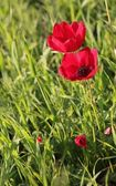 Red poppies growing in a spring field — Stock Photo