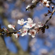 Almond tree blooms — Stock Photo