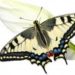 Swallowtail — Stock Photo