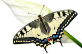 Swallowtail butterfly on a flower Spathiphyllum on a white background, isolated. — Stock Photo