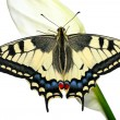 Swallowtail - Stock Photo