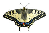 Swallowtail, isolated — Stock Photo