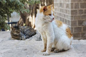 Stray cats in Jerusalem. — Stock Photo