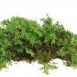 Heap of green moss — Stock Photo