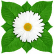 One white flower with green leaf - Stock Photo
