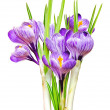 Beautiful spring crocus.i — Stock Photo
