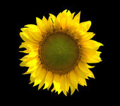 Sunflower isolated on black background — Stockfoto