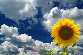Girasole contro il cielo blu con nuvole — Foto Stock