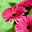 Pink gerber flowers — Stock Photo #4595294