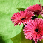 Pink gerber flowers — Stock Photo #4595298