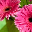 Pink gerber flowers — Stock Photo #4595299