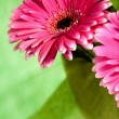 Pink gerber flowers — Stock Photo