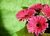 Gerber rosa flores — Foto de Stock