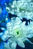 白菊花 — 图库照片