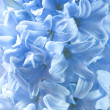 Blue hyacinth flowers - Stock Photo