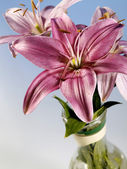 Beautiful lily — Stockfoto