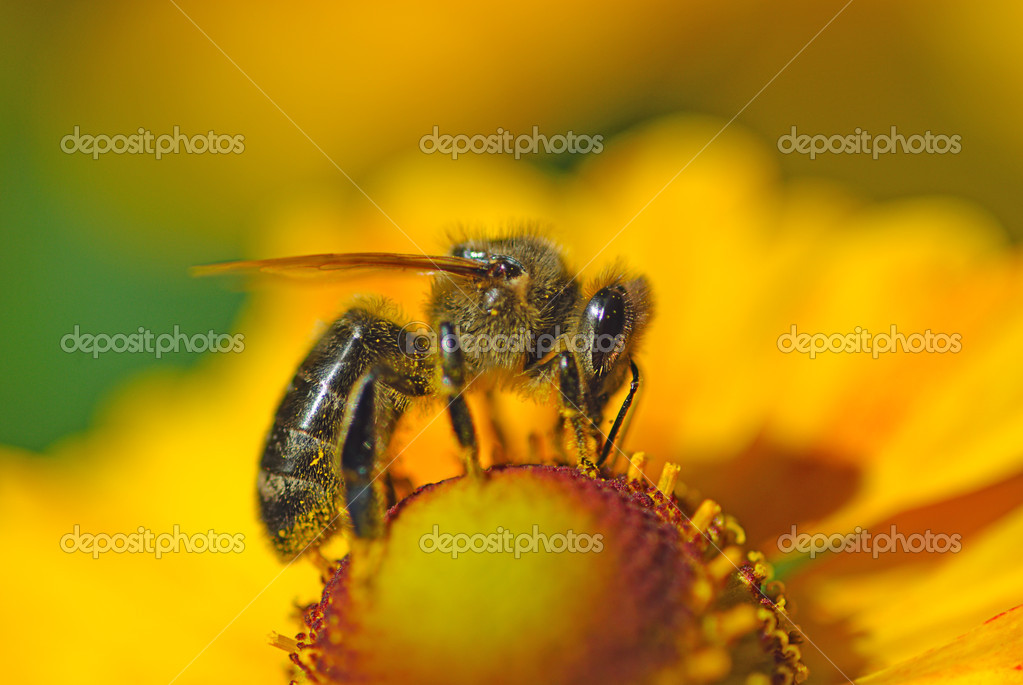 close-up bee on flower collects nectar — Stock Photo #4105058