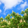 Blooming chestnuts — Stock Photo #4463164
