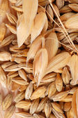 Oat with seeds — Stock Photo
