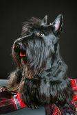 Skotsk terrier — Stockfoto