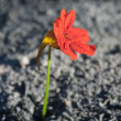 Flower from the ashes - Stock Photo