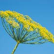 Flowering dill — Stock Photo