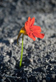 Flower from the ashes — Stock Photo