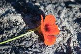 Flor das cinzas — Fotografia Stock
