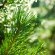 Branch of pinetree — Stock Photo