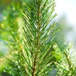 Branch of a pinetree — Foto Stock