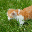 Stock Photo: Cat on a grass