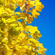 Close up yellow autumn foliage — Stock Photo #5077530