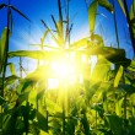 Sunrise on a cornfield — Stock Photo #5078835