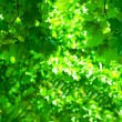 Green foliage — Stock Photo #5078861