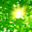 Green foliage with sun — Stock Photo #5078876