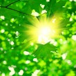 Green foliage with sun — Stock Photo