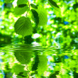 Green fresh foliage on water - Stock Photo