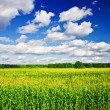 Landscape - corn field - Stock Photo