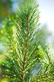 Branch of a pinetree — Stock Photo