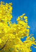 Crone de mappletree et du ciel — Photo
