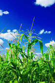 Corn oan a sky close up — Stock Photo
