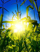 Sunrise on a cornfield — Stock Photo