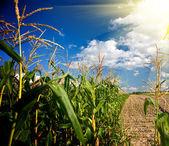 Bordo di un campo di mais nel pomeriggio — Foto Stock