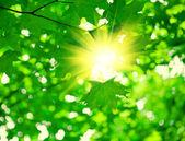 Green foliage with sun — Stock Photo