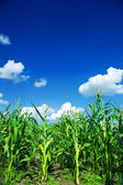 Campo de milho verde — Fotografia Stock