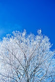 Image of crone snowed tree with copyspace — Stock Photo